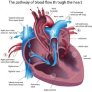 Circulatory System Facts, Function Diseases