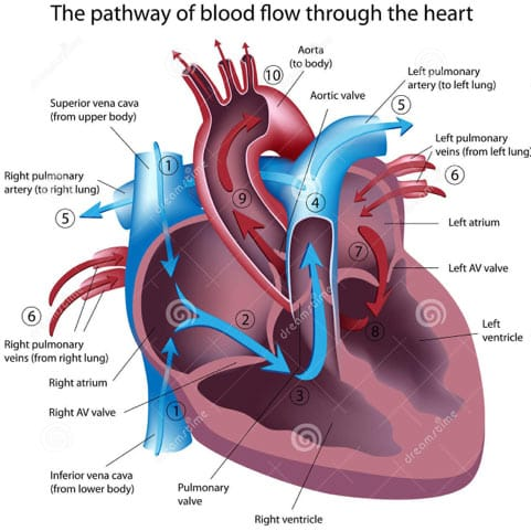 Circulatory System: Facts, Function & Diseases – The Health